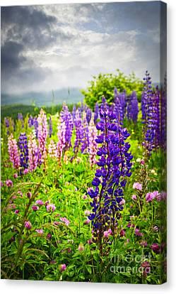Lupins In Newfoundland Meadow Canvas Print by Elena Elisseeva