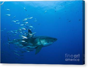 Male Great White Shark And Bait Fish Canvas Print by Todd Winner