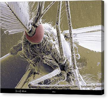 Male Mosquito Canvas Print by Ted Kinsman