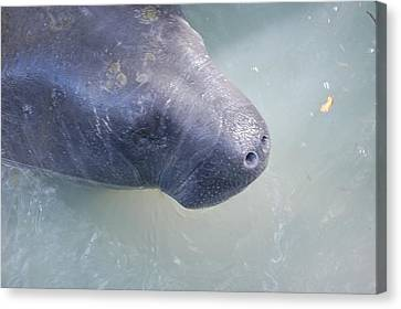 Manatee Canvas Print by Randy J Heath