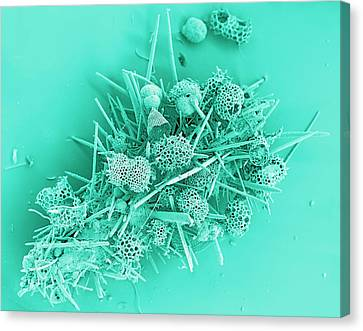 Marine Protozoa Shells, Sem Canvas Print by Peter Bond, Em Centre, University Of Plymouth