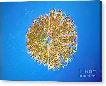 Micrasterias Canvas Print by Michael Abbey and Photo Researchers