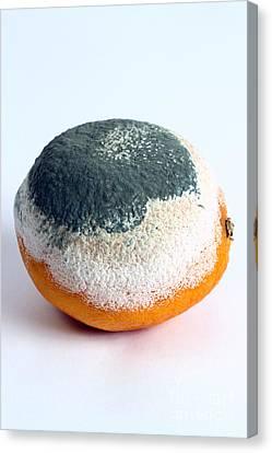 Moldy Orange Canvas Print by Photo Researchers, Inc.