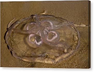 Moon Jellyfish Canvas Print by Betsy Knapp