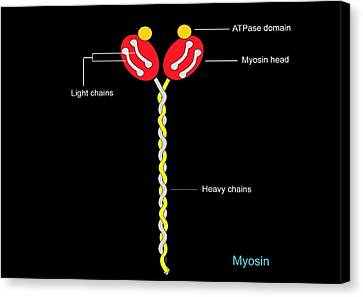 Myosin Structure, Artwork Canvas Print by Francis Leroy, Biocosmos