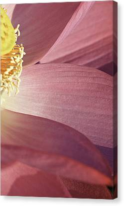 Canvas Print featuring the photograph Nelumbo 'red Scarf' by Perla Copernik