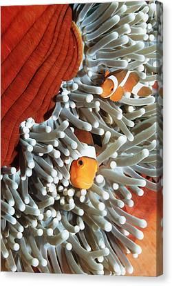 Ocellaris Anemonefish Canvas Print by Georgette Douwma