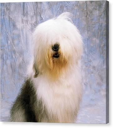 Old English Sheepdog Canvas Print by The Irish Image Collection