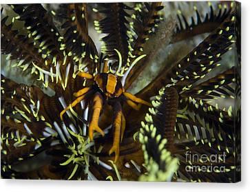 Orange And Brown Elegant Squat Lobster Canvas Print by Steve Jones