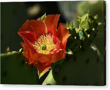 Orange Prickly Pear Blossom  Canvas Print by Saija  Lehtonen