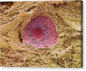 Ovarian Follicle, Sem Canvas Print by Steve Gschmeissner