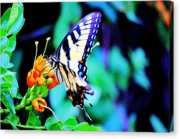 Pale Swallowtail Butterfly Canvas Print by Barry Jones