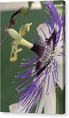 Passiflora Canvas Print - Passion Flower by Archie Young