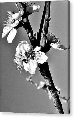 Canvas Print featuring the photograph Peach Blossom by Puzzles Shum