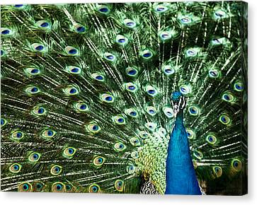 Peacock Canvas Print by Ivan Vukelic