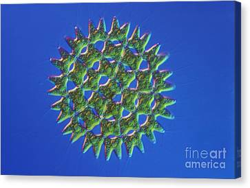 Pediastrum Sp. Algae, Lm Canvas Print by M. I. Walker