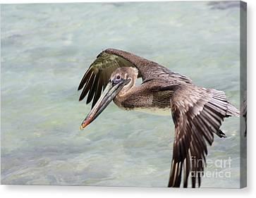 Pelican Canvas Print by Sophie Vigneault