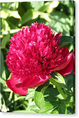 Canvas Print featuring the photograph Peony by Rebecca Overton