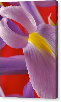 Photograph Of A Dutch Iris Canvas Print by Perla Copernik