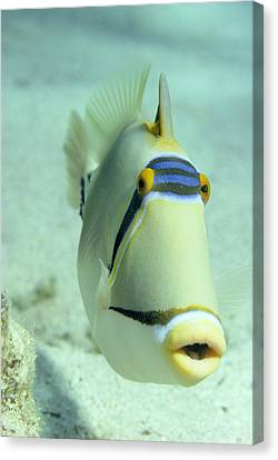 Picasso Triggerfish Canvas Print by Georgette Douwma