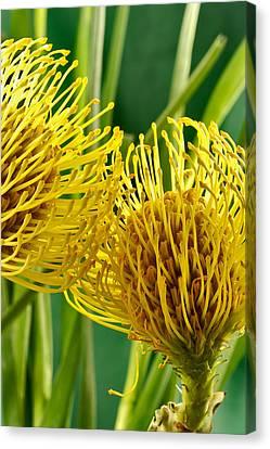 Picture Of A Pincushion Protea Canvas Print by Perla Copernik