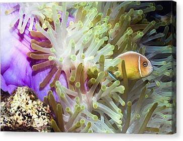 Pink Anemonefish Sheltering Canvas Print by Georgette Douwma