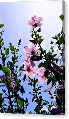 Pink Hibiscus Canvas Print by Kevin Smith