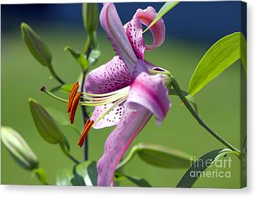 Pink Lily Canvas Print by Sharon Talson