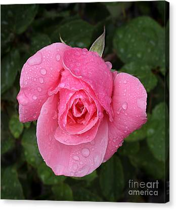 Pink Rose Macro Shot With Rain Drops Canvas Print