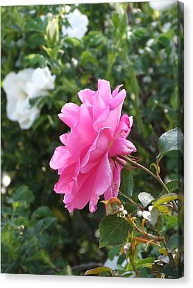 Canvas Print featuring the photograph Pink Rose by Rebecca Overton