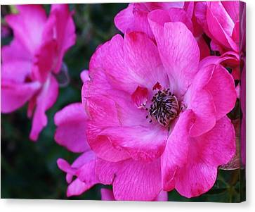 Pink Roses Canvas Print by Bruce Bley