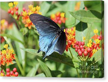 Pipevine Swallowtail  Canvas Print by Ken Williams