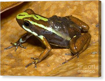 Poison Frog With Eggs Canvas Print by Dante Fenolio