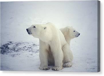 Polar Bear And Cub Canvas Print by Chris Martin-bahr
