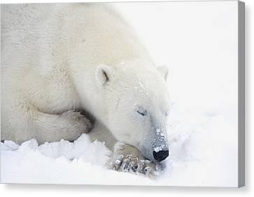 Polar Bear Ursus Maritimus Has His Eyes Canvas Print by Richard Wear