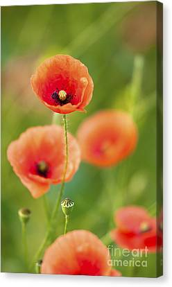 Poppies Canvas Print by Andrew  Michael