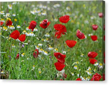 Poppies Canvas Print by Guido Montanes Castillo