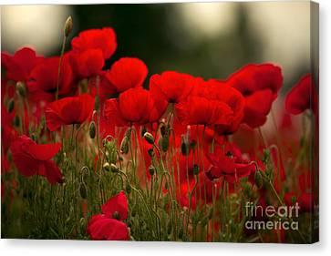 Poppy Flowers 05 Canvas Print by Nailia Schwarz