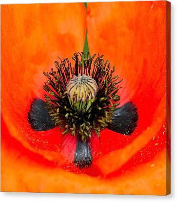 Poppy Heart Canvas Print by Karon Melillo DeVega