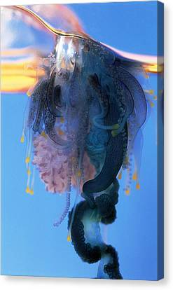 Portuguese Man-of-war Canvas Print by Georgette Douwma