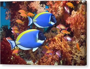 Powder-blue Surgeonfish Canvas Print