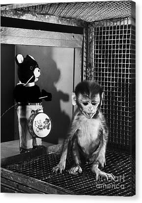 Primate Fear Testing Canvas Print