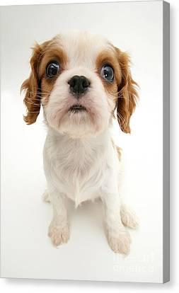 Puppy Canvas Print by Jane Burton
