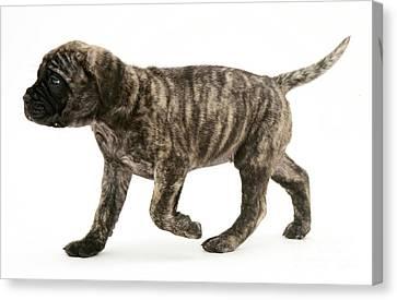 Mastiff Pups Canvas Print - Puppy Trotting by Jane Burton