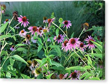 Purple Coneflowers Canvas Print by Theresa Willingham