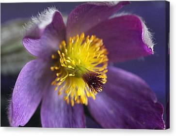 Purple Flower Canvas Print by Mark J Seefeldt