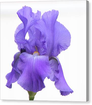 Purple Iris On White Canvas Print