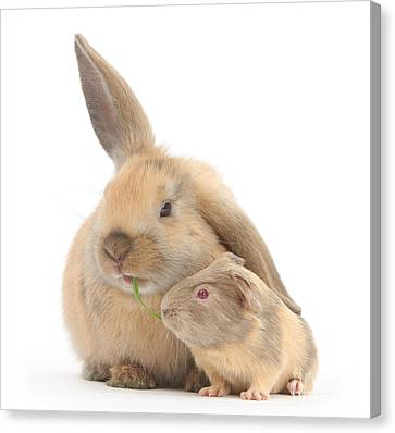 Sharing Canvas Print - Rabbit And Guinea Pig by Mark Taylor