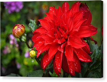 Rain And Red Dahlia Canvas Print by Ronda Broatch