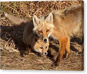 Red Fox Vixen With Pup On Hecla Island In Manitoba Canvas Print by Mark Duffy